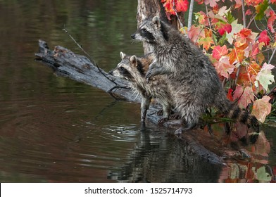 Pair of Raccoons (Procyon lotor) Look Left from Logs in Pond Autumn - captive animals
