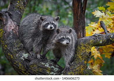 Pair of Raccoons (Procyon lotor) Stand In Tree Autumn - captive animals