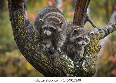 Pair of Raccoons (Procyon lotor) in Tree in the Rain Autumn - captive animals