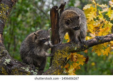 Pair of Raccoons (Procyon lotor) In Tree Autumn  - captive animals
