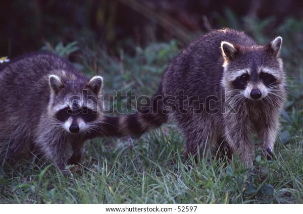 Pair of racoons