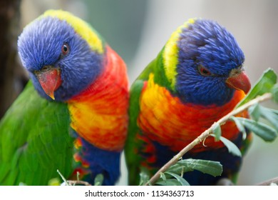 Pair of Rainbow Lorikeets