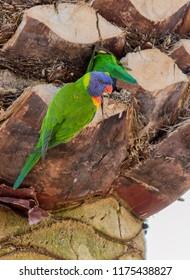 Pair of Rainbow Lorikeets preparing a nest in Spring.
