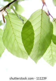 Pair of ransparent beech leaves