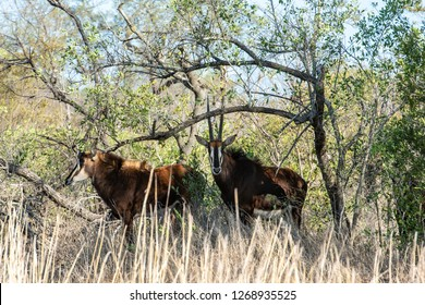 Pair of rare sable antelopes (Hippotragus niger), South Africa