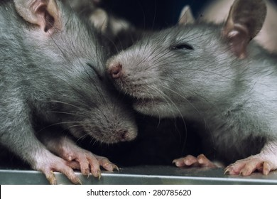 a pair of rats