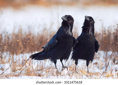 Pair of ravens in courtship. Corvus corax