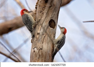 Pair of red bellied woodpecker birds looking for bugs on a dead tree