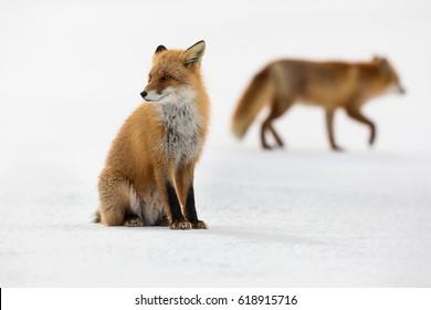 Pair of Red fox in winter, Japan.