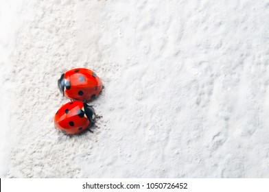 A pair of red Ladybirds with black spots, facing in opposite directions on a rough, white stone surface.