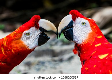 Pair of Red Macaw's/Aras kissing, macro, Amazon Jungle near Iquitos, Peru.