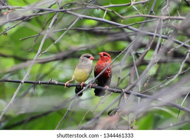 """Pair of Red munia (A. amandava) taking rest.  Male seem to be more bright red during breeding season as compared to non breeding season with more white spot on their body while female doesn""""t have."""