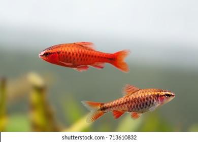 Pair red orange exotic aquarium fishes macro view. Puntius titteya male female barb swimming. Aquatic nature still life scene. Shallow depth of field