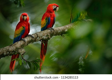 Pair of red parrot Scarlet Macaw, Ara macao, bird sitting on the branch in green vegetation, Brazil. Wildlife scene from tropical forest. Beautiful parrot on tree branch in nature habitat.