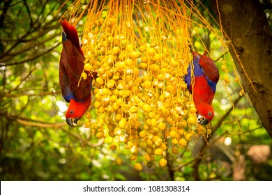 A pair of red parrots eating fruits, Puerto de la Cruz, Tenerife, Spain.