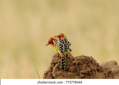pair of Red and yellow Barbet (trachyphonus e. erythrocephalus) 0n a termite mound in the Tarangire National Park, Tanzania