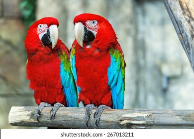 A pair of red-and-blue macaws (ara ararauna) perched in the jungle.