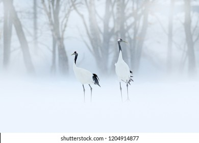 Pair of Red-crowned crane, Grus japonensis, walking in the snow, Hokkaido, Japan. Beautiful bird in the nature habitat. Wildlife scene from nature. Crane with snow in the cold forest. Animal behaviour