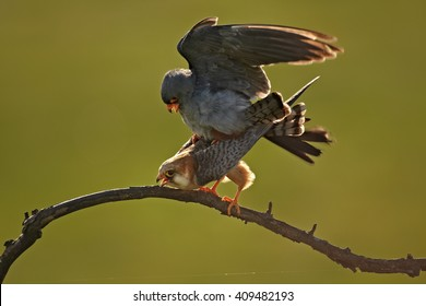 Pair of Red-footed Falcons, Falco vespertinus, migrating raptor in mating position, isolated against green background. Spring in Hortobagy, Hungary, Europe.