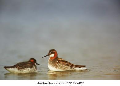 Pair of red-necked phalarope