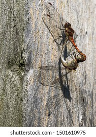 Pair of red-veined darter dragonflies in mating pose