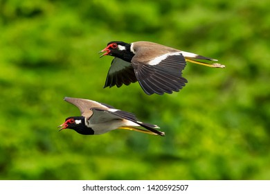 A pair of Red-Wattled Lapwing in flight with blur green tree  background
