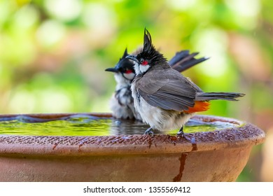 A pair of Red-whiskered bulbul perching on a bowl of water with blurry green background of trees