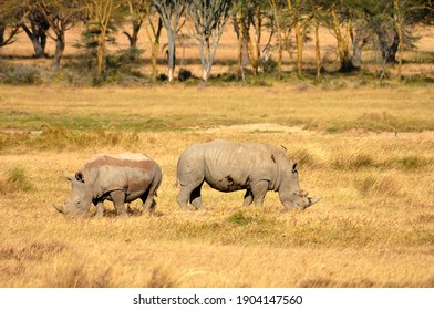 Pair of Rhino in Nakuru National Park