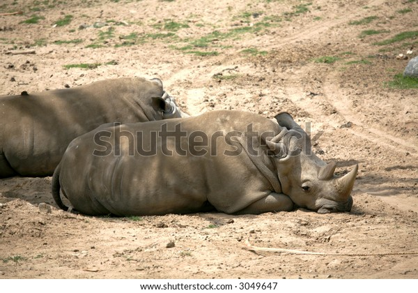 a pair of rhinos resting and basking in the sun