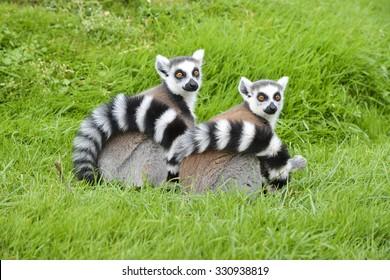 A Pair of Ring tail Lemurs sitting on fresh lush green grass.