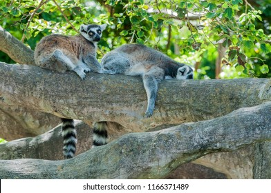 A pair of ring tailed lemurs flake out on a tree trunk,  in the August heat at Zoo Miami.