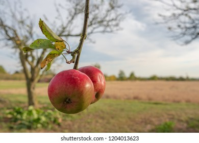 Pair of ripe apples seen at the edge of an English apple orchard during autumn. A distant, out of focus wheat field can be seen in this rural location.