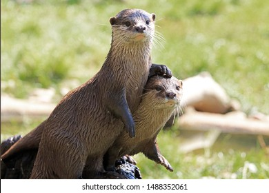 Pair Of River Otters With The Foot Of One Otter Resting On The Others Head. Selective Focus.