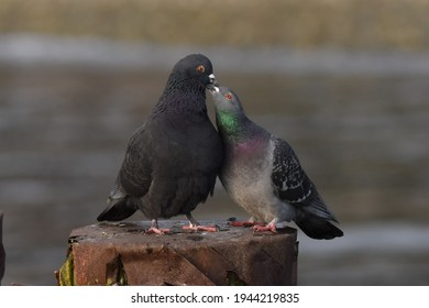 Pair of Rock Pigeons showing feeding behavior between parent and chick. Chick is eating Pigeon Milk from parent's crop.
