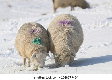Pair of Romney Marsh sheep stood grazing in a snowy field