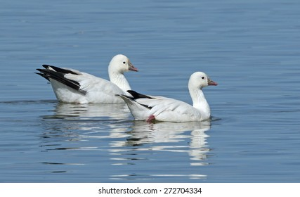 A pair of Ross's geese swim slowly by in the quiet waters of Tule Lake in California.