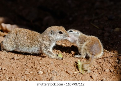 Pair of Round-tailed ground squirrels (xerospemuphilus tereticaudus), Mother and baby, nuzzling each other in springtime. In Arizona's Sonoran desert.