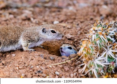 Pair of Round-tailed ground squirrels (xerospemuphilus tereticaudus), In Arizona's Sonoran desert. Mother standing guard while her baby emerges from a hole in the desert ground.