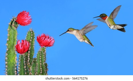 A pair of Ruby- throated hummingbirds (Archilochus colubris) and red cactus flowers.