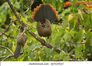 Pair Rufous-vented Chachalaca  Ortalis ruficauda perched on branches in treetop,in mating call, male displays to female outstretched rufous tail. Green leaves in background. Tobago Island.