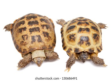 Pair of Russian Tortoises or Central Asian tortoises (Agrionemys horsfieldii) isolated on white background.