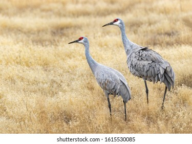 A pair of sandhill cranes in an Idaho field.  Sandhill cranes mate for life; this is most likely a male and female pair.