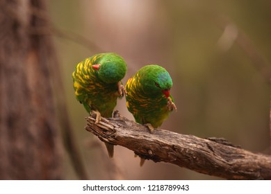 A pair of Scaly-breasted Lorikeets preening on a branch