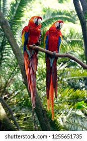 Pair of scarlet macaw parrots perched on a tree branch