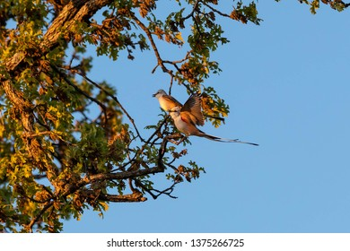 A pair of scissor-tailed flycatchers sitting in a tree.