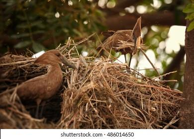 Pair of Scopus umbretta, Hamerkop or Hammerhead, african wading birds building their enormous nest.Chobe river, Botswana.