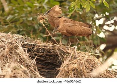 Pair of Scopus umbretta, Hamerkop or Hammerhead, african wading birds building their enormous nest. Chobe river, Botswana.