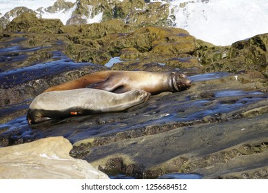 A pair of Sea Lions laying on rocks at the ocean sands of the beach on the California Coast