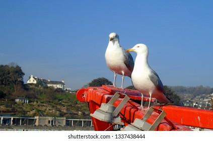 Pair of Seagulls