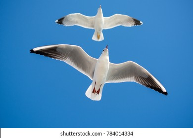 Pair of seagulls flying in blue a sky background